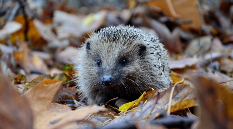 Hedgehog in some leaves